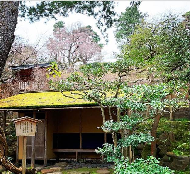 朝鮮五葉松と兼六園の桜の花