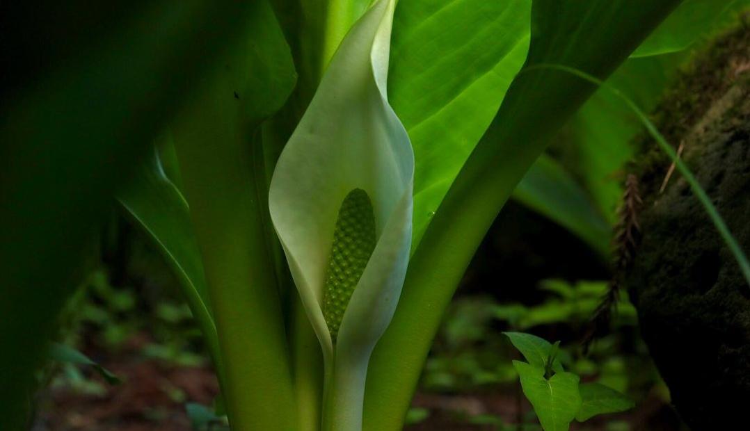 今年も水芭蕉が咲き始めました。